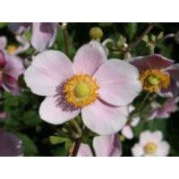 Filzige Herbst-Anemone 'Robustissima', Anemone tomentosa 'Robustissima', Containerware