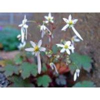 Herbst-Steinbrech 'Rokujo', Saxifraga cortusifolia var. fortunei 'Rokujo', Topfware