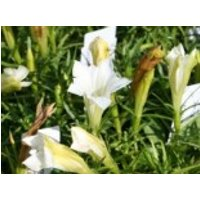 Herbstenzian 'White Mountain', Gentiana sino-ornata 'White Mountain', Topfware