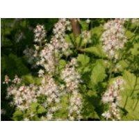 Herzblättrige Schaumblüte, Tiarella cordifolia, Containerware