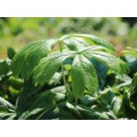 Himalaya-Maiapfel 'Majus', Podophyllum hexandrum 'Majus', Topfware