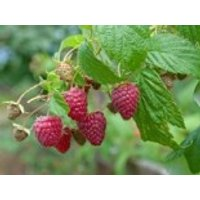 Himbeere 'Autumn Best', 40-60 cm, Rubus idaeus 'Autumn Best', Containerware