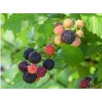 Himbeere 'Black Jewel', 30-40 cm, Rubus idaeus 'Black Jewel', Containerware