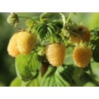 Himbeere 'Golden Queen'  ®, 30-40 cm, Rubus idaeus 'Golden Queen'  ®, Containerware