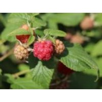Himbeere 'Rubaca', 40-60 cm, Rubus idaeus 'Rubaca', Containerware