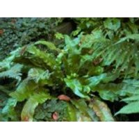Hirschzungenfarn 'Undulata', Asplenium scolopendrium 'Undulata', Topfware
