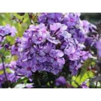 Hohe Flammenblume 'Freckles Blue Shades', Phlox paniculata 'Freckles Blue Shades', Topfware