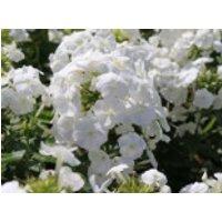 Hohe Flammenblume 'White Admiral', Phlox paniculata 'White Admiral', Topfware