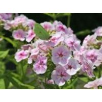 Hohe Flammenblume 'Younique Bicolor', Phlox paniculata 'Younique Bicolor', Topfware