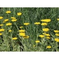Hohe Gold-Garbe 'Coronation Gold', Achillea filipendulina 'Coronation Gold', Topfware