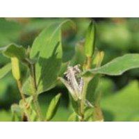 Hohe Krötenlilie, Tricyrtis macropoda, Topfware