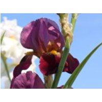 Hohe Schwertlilie 'Ambassadeur', Iris x barbata-elatior 'Ambassadeur', Topfware