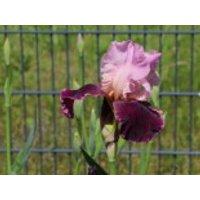Hohe Schwertlilie 'Wine and Roses', Iris x barbata-elatior 'Wine and Roses', Topfware