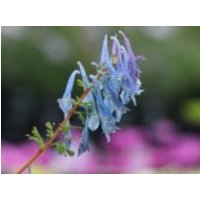 Hoher Lerchensporn 'Spinners', Corydalis elata 'Spinners', Topfware