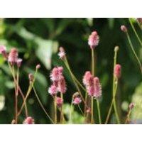 Hoher Wiesenknopf 'Pink Elephant', Sanguisorba tenuifolia 'Pink Elephant', Topfware