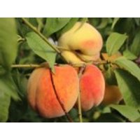 Honigpfirsich 'Honeysun' ®, Stamm 40-60 cm, 120-160 cm, Prunus persica 'Honeysun' ®, Containerware