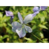Hornveilchen 'Lady Scott', Viola cornuta 'Lady Scott', Topfware