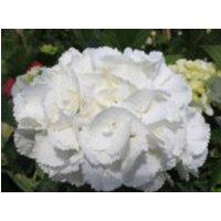 Blütensträucher und Ziergehölze - Ballhortensie 'Schneeball' ®, 15-20 cm, Hydrangea macrophylla 'Schneeball' ®, Containerware