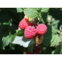 Himbeere 'Aroma Queen', 40-60 cm, Rubus idaeus 'Aroma Queen', Containerware