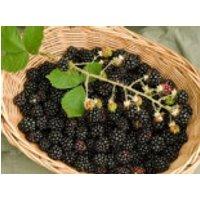 Brombeere 'Choctaw' ®, 40-60 cm, Rubus fruticosus 'Choctaw', Containerware