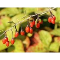 Gojibeere / Gemeiner Bocksdorn / Teufelszwirn 'Big Lifeberry' ®, 60-100 cm, Lycium barbarum 'Big Lifeberry' ®, Containerware
