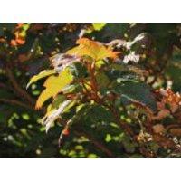 Blütensträucher und Ziergehölze - Eichenblättrige Hortensie 'Applause', 30-40 cm, Hydrangea quercifolia 'Applause', Containerware
