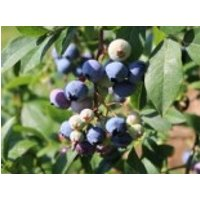 Immergrüne Heidelbeere 'Sunshine Blue', 20-30 cm, Vaccinium corymbosum 'Sunshine Blue', Containerware