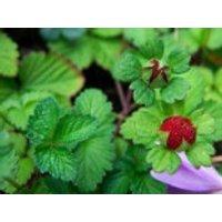 Indische Schein-Erdbeere, Duchesnea indica, Topfware