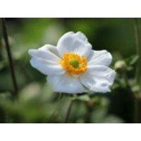 Japan-Herbst-Anemone 'Honorine Jobert', Anemone japonica 'Honorine Jobert', Containerware