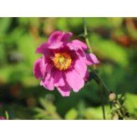 Japan-Herbst-Anemone 'Rotkäppchen', Anemone japonica 'Rotkäppchen', Topfware
