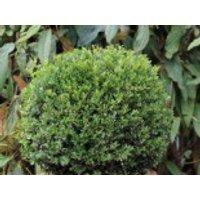 immergrüne Laubbäume - Japan-Stechpalme (Kugel), 25-30 cm, Ilex crenata (Kugel), Containerware