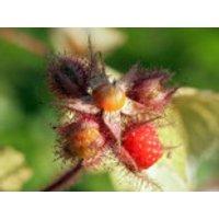 Japanische Weinbeere / Rotborstige Himbeere, 40-60 cm, Rubus phoenicolasius, Containerware