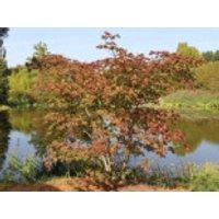 Japanischer Ahorn / Eisenhutblättriger Ahorn 'Aconitifolium', 30-40 cm, Acer japonicum 'Aconitifolium', Containerware