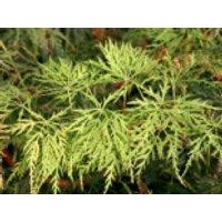 Japanischer Ahorn 'Green Cascade', 30-40 cm, Acer japonicum 'Green Cascade', Containerware