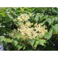 Japanischer Angelicabaum / Teufelskrückstock, 40-60 cm, Aralia elata, Containerware