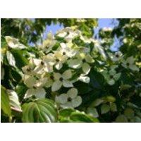 Blütensträucher und Ziergehölze - Chinesischer Blumen-Hartriegel 'Teutonia', 100-125 cm, Cornus kousa var. chinensis 'Teutonia', Containerware