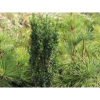 immergrüne Laubbäume - Japanischer Säulenilex / Säulen-Berg-Ilex 'Fastigiata', 20-30 cm, Ilex crenata 'Fastigiata', Containerware
