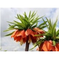 Kaiserkrone 'Rubra Maxima', Fritillaria imperialis 'Rubra Maxima', Topfware