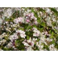 Kalmiendeutzie, 30-40 cm, Deutzia kalmiiflora, Containerware