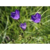 Karpaten Glockenblume, Campanula carpatica var. carpatica, Topfware