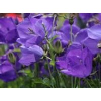 Karpaten Glockenblume Royal Wave', Campanula carpatica 'Royal Wave', Topfware