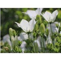 Karpaten-Glockenblume 'Weiße Clips', Campanula carpatica 'Weiße Clips', Containerware