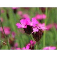 Kartäuser Nelke, Dianthus carthusianorum, Topfware