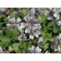 Kaukasus Storchschnabel, Geranium renardii, Containerware