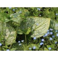 Kaukasus-Vergissmeinnicht 'Alexander's Great', Brunnera macrophylla 'Alexander's Great', Topfware