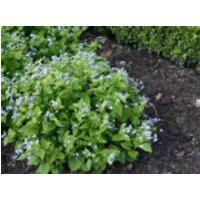 Kaukasus-Vergissmeinnicht, Brunnera macrophylla, Containerware