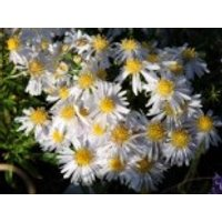 Kissen-Aster 'Apollo', Aster dumosus 'Apollo', Topfware