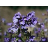 Klaffmäulchen 'Blue Dream', Chaenorhinum origanifolium 'Blue Dream', Topfware