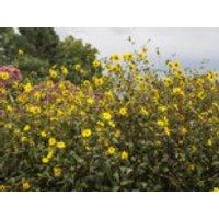Gehölzrand - Kleinblumige Sonnenblume, Helianthus microcephalus, Topfware
