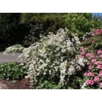 Kleine Prunkspiere 'The Bride', 30-40 cm, Exochorda macrantha 'The Bride', Containerware